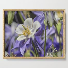 aquilegia flower in bloom in the garden Serving Tray