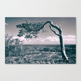 PIne in the mountains Canvas Print