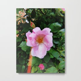 Pink Spring Rose Metal Print