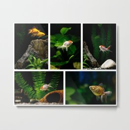 Goldfishes in the tank Metal Print