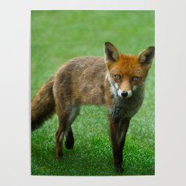 Wild Red Fox Poster