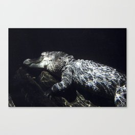 Napping Alligator Canvas Print