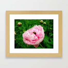 Bumble Bee on a Pink Peony Framed Art Print