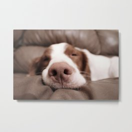 Funny Dog Photography Brittany Spaniel Close Up  Metal Print