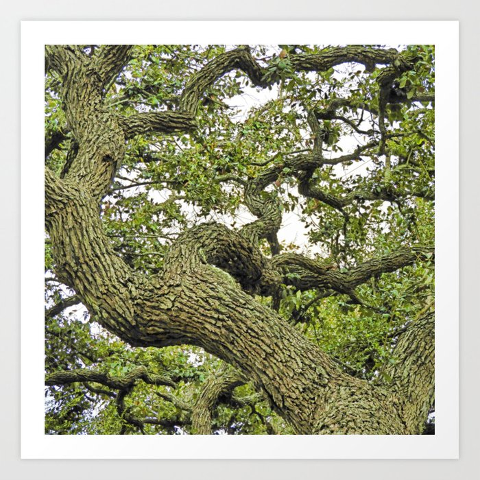 Live Oak of Coastal Texas Art Print