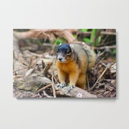 A Red and Black Squirrel in the Woods Metal Print