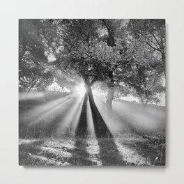 Sunrays through the oaks. Foggy morning. Metal Print