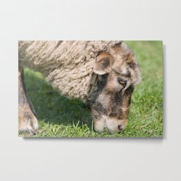 Single adult sheep eating grass Metal Print