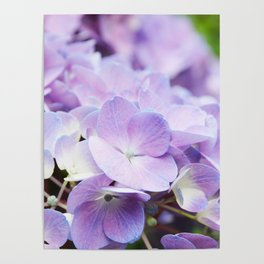 Light Purple Hydrangea Poster