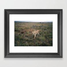 Lone Lion. Framed Art Print