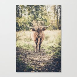 Highland scottish cow cattle long horn Canvas Print