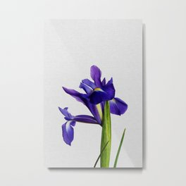 Iris Still Life, Flower Photography Metal Print