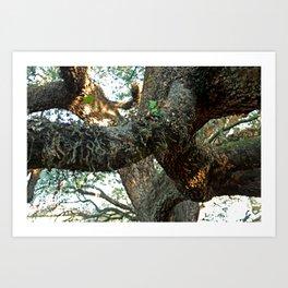 Live Oak Spread Art Print