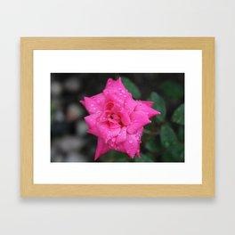 Dew Drop Rose Framed Art Print
