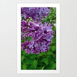 Lilac Blooms Art Print