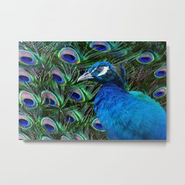 Blue Peacock and Feathers Metal Print