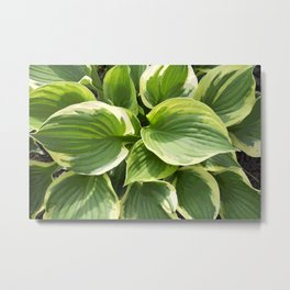 Hosta Plant Metal Print