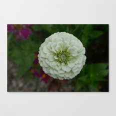 White Zinnia Canvas Print