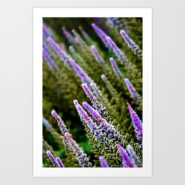 Photograph Purple and Green Prairie Blazing Star Wildflower Art Print