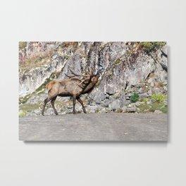 Wapiti Bugling (Bull Elk) Metal Print