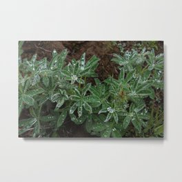 Wet Lupine Metal Print