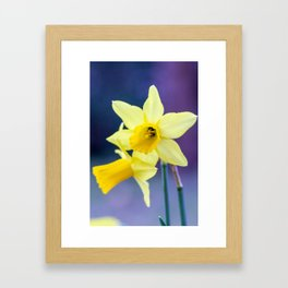 Late afternoon narcissus flower Framed Art Print