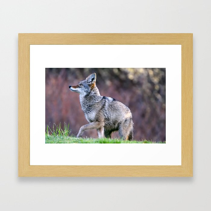 Wild coyote on the hunt Framed Art Print