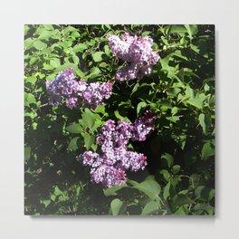 Sun lit Lilacs..... Metal Print