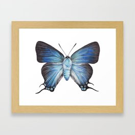 Butterfly - The Great Purple Hairstreak - ATLIDES HALESUS by Magda Opoka Framed Art Print