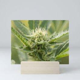 GSC Cannabis flowering Mini Art Print