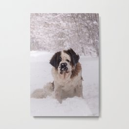 St Bernard dog on the snow Metal Print
