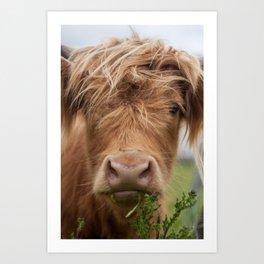 Highlander Cow Art Print