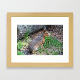 Patagonian Cavy III Framed Art Print