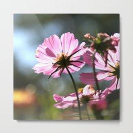 Pink cosmos flower 1 Metal Print