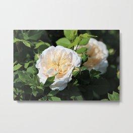 Old English Rose Blooms Metal Print