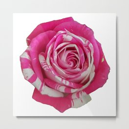 Pink and White Rose Metal Print