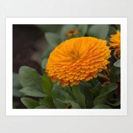 Calendula Flower Art Print