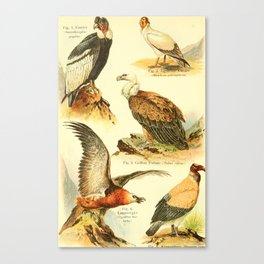 William Playne Pycraft - A Book of Birds (1908) - Plate 9: Vultures Canvas Print