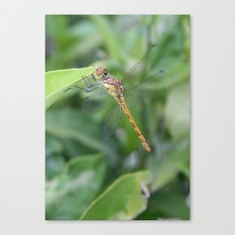 Green and Brown Dragonfly Holding On To Oleander Canvas Print