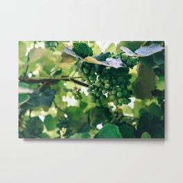Wine Grapes Hidden In The Vines Metal Print