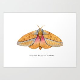 Bisected Honey Locust Moth (Sphingicampa bisecta) Art Print