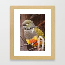 Patagonian Conure Framed Art Print