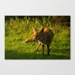 A Wet Wild Red Fox Canvas Print