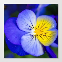 Pansy Close-up Square Canvas Print