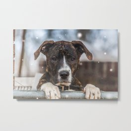 Cute Mastiff Rottweiler Mix  Puppy Metal Print