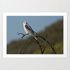 White-tailed Kite Art Print