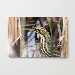 American Bittern - Take Two Metal Print