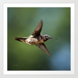 Hummingbird Swoop Art Print