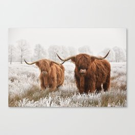 Hairy Scottish highlanders in a natural winter landscape. Canvas Print