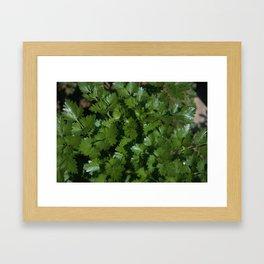 Italian Parsley - Petroselinum crispum var. neapolitanum 1 Framed Art Print